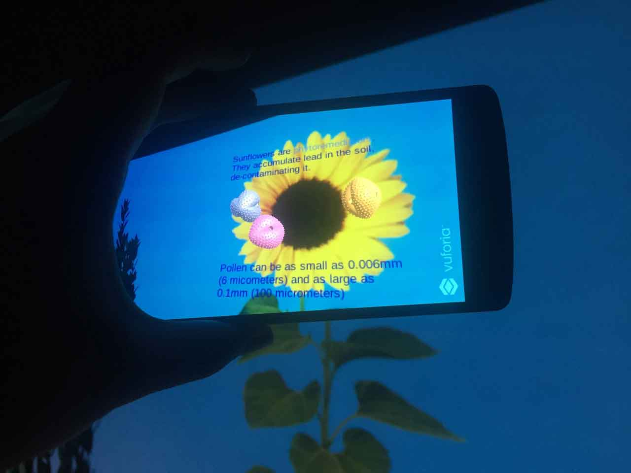 Image of AR application on a phone showing pollen on a sunflower